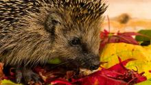 Hedgehog sitting on autumn leaves and eating.