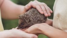 Couple holding hedgehog close up