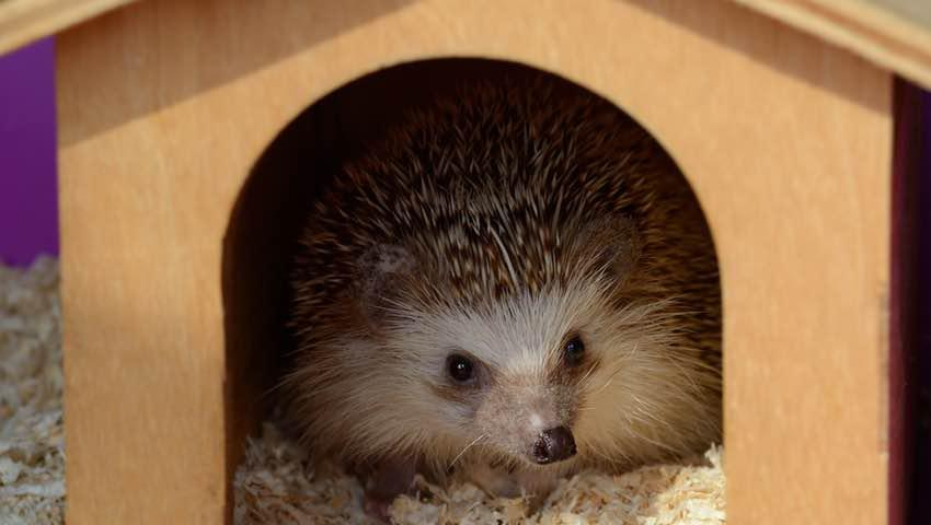 Hedgehog in Wooden House